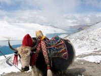 Tibet yak with colorful blankets on mountain