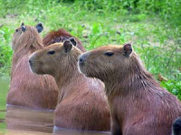 capibara bathing in water