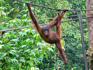 Orangutan swinging in the tree in Borneo