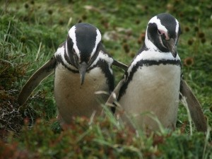 Close up of two waddling penguins in Chile