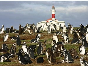 Group of penguins in Chile