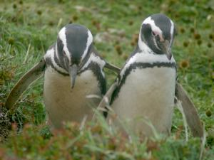 Penguins waddling in Chile