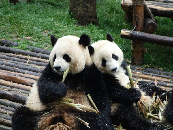 Pandas eating bamboo in Chengdou
