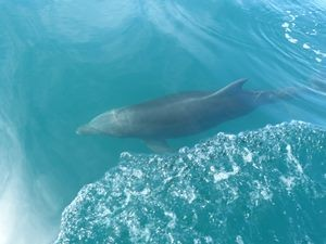 Dolphins in Tortuga, Costa Rica