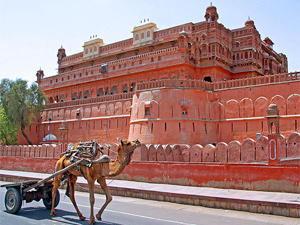 India camel in front of pink fort