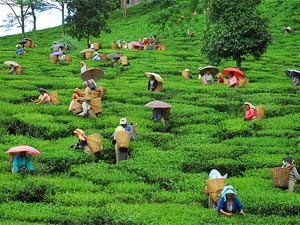 India locals picking tea in green fields
