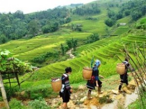 Local Vietnamese people walking through rice paddies with baskets on their backs in Sapa Vietnam