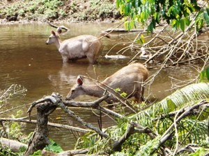 Two deers in the water