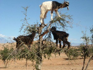 morocco-wildlife-goats-climbing-argan-tree