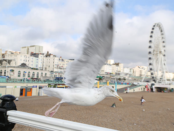 Seagull in flight, Brighton