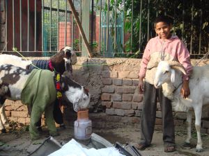 young Indian boy with goats in jumpers
