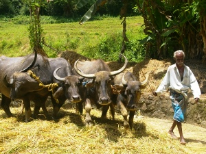 local sri lankan man with buffalo