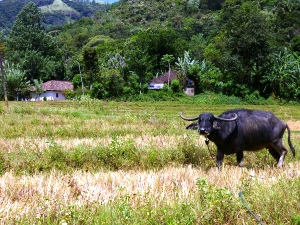 buffalo in a field in sri lanka