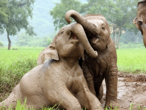 Thailand-Chiang-Mai-Elephant-Nature-Park-playing