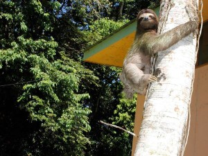 sloth climbing tree in costa rica