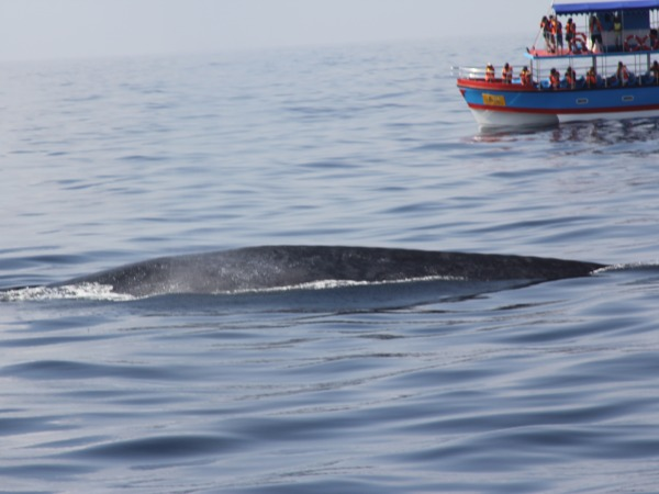 blue whale in sri lanka