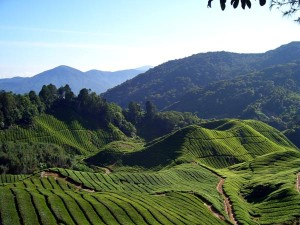 Cameron highlands landscape in Malaysia