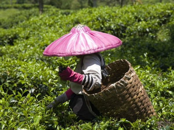 local tea picker in indonesia