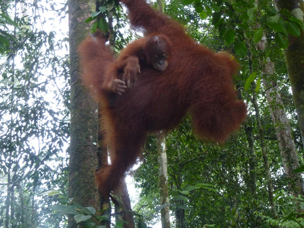 Mother and baby orangutans swinging in the trees in Bukit Luwang, Sumatra, Indonesia