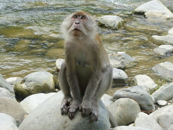 monkey at the river in sumatra