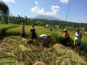 Family holidaying in Bali and helping out in rice terraces