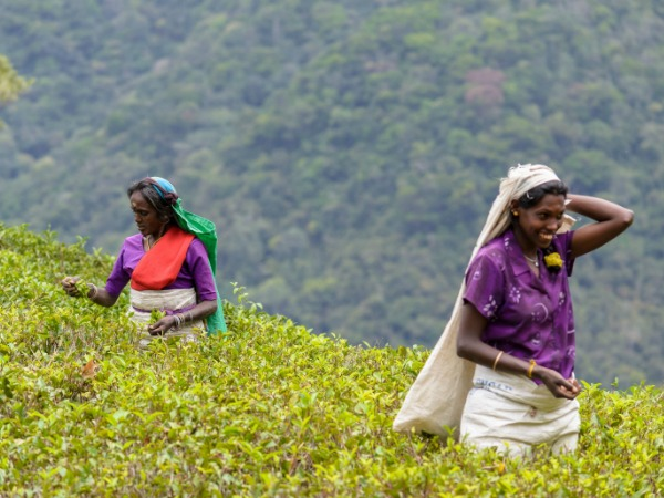 women picking tea in sri lanka