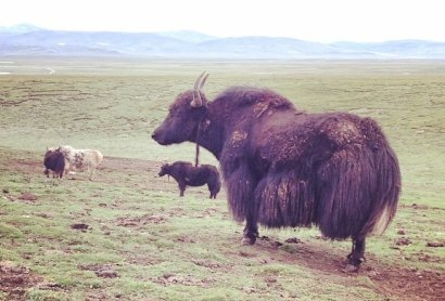 Yak in a meadow in Tibet