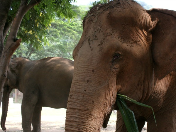 Thailand-Chiang-Mai-Elephant-Nature-Park-adult-600-450