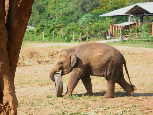 elephant with tyre in Elephant Nature park Thailand