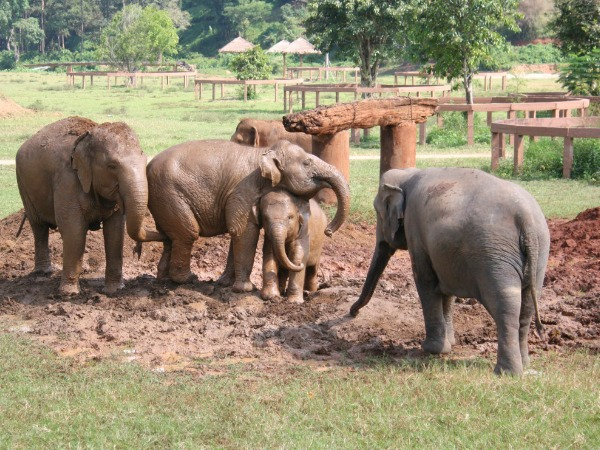 Thailand-Chiang-Mai-Elephant-Nature-Park-playing-mud-600-450