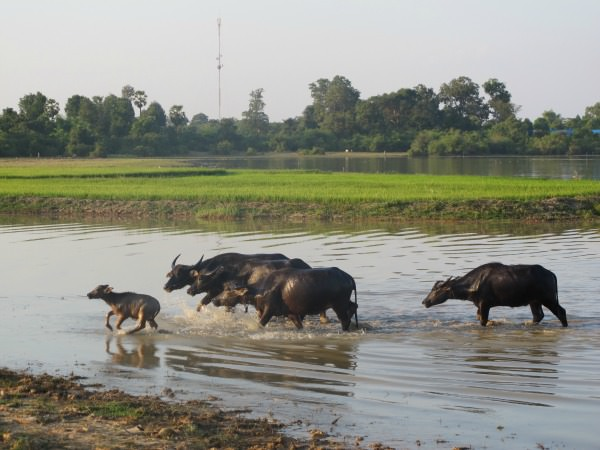 Water buffalo in a river in Cambodia