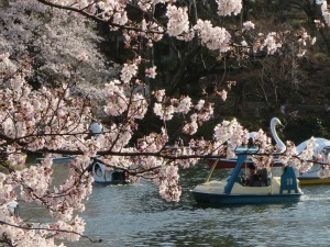 Japanese blossom tree by the water