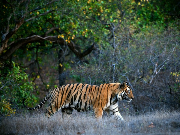 india-Bandhavgarh-wildlife-tiger