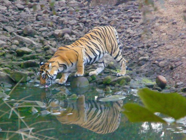 tiger drinking water in a river