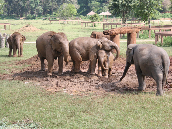Thailand-Chiang-Mai-Elephant-Nature-Park-playing-mud
