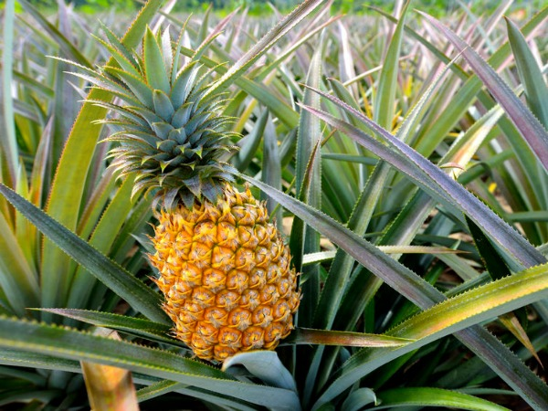 costa-rica-pineapple-field-farm