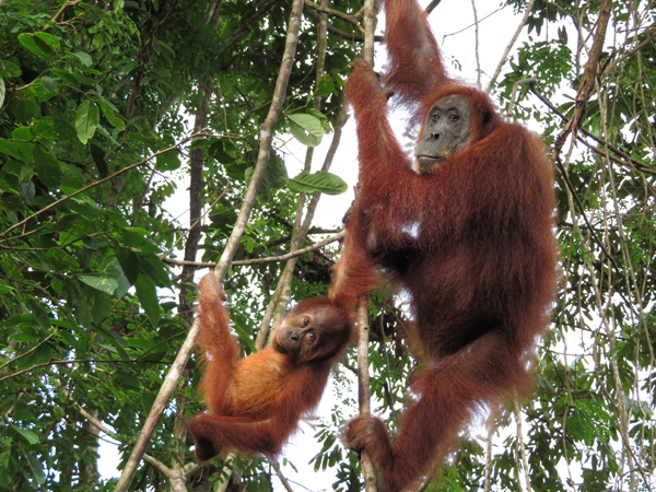 orangutans swing in the canopies in sumatra