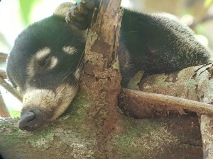 Wild Coati silently sleeping on a branch in the Corcovado forest.