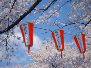 cherry blossom and lanterns in kyoto