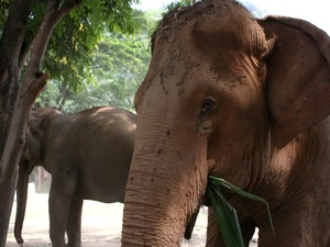 Two adult elephants eating plants in Chaing Mai nature park, Thailand