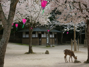 A deer eating his lunch surrounded by blossoming cherry trees
