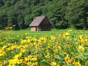 Traditional Japanese folk village house set in a green field with lots of yellow flowers