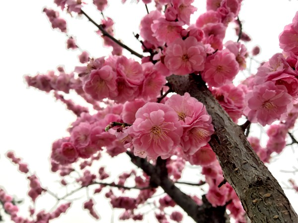 Pretty pink flowers on branch