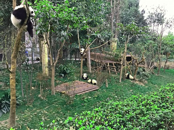 Pandas in Chengdu hanging on branch and wondering round