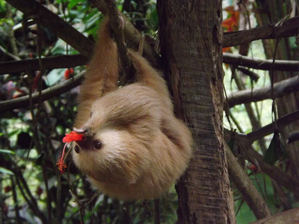 Costa Rican sloth with flower