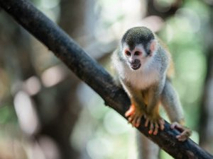 Monkey on a branch in Costa Rica