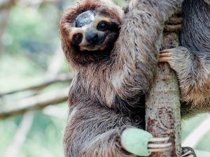 Sloth hanging onto tree in Costa Rica