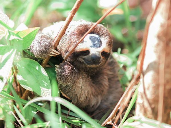 Sloth clutching two branches Costa Rica