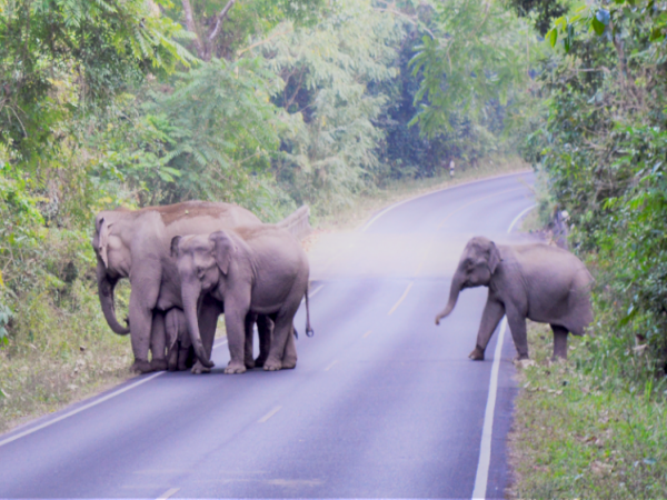 Elephants wandering round peacefully in rural Thailand