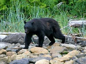 Black bear on rocks in Canada